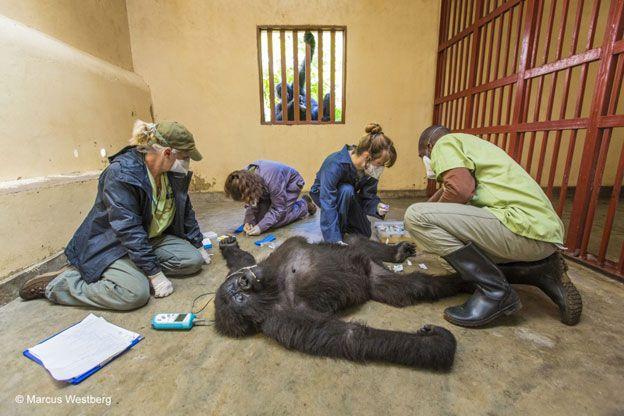 Ndeze, una gorila de montaña de 9 años, mira con preocupación por la ventana como los veterinarios revisan a su compañera, una gorila hembra de 12 años. La escena tiene lugar en el Centro Senkwekwe del Parque Nacional Virunga, en República Democrática de Congo. El doctor a cargo de los gorilas, Eddy Kambale, revisa todos los años a los cuatro gorilas de montaña, que han sido rescatados de cazadores y traficantes.