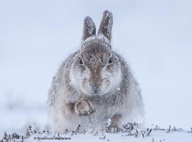 Rosamund Macfarlane siempre soñó con fotografiar a las liebres de las montañas escocesas camufladas en medio de la nieve. Con ayuda de un experto local subió hasta un valle en los Caringorms, una cadena montañosa en Escocia, y tras perseguir a una liebre durante horas logró tomar esta fotografía.