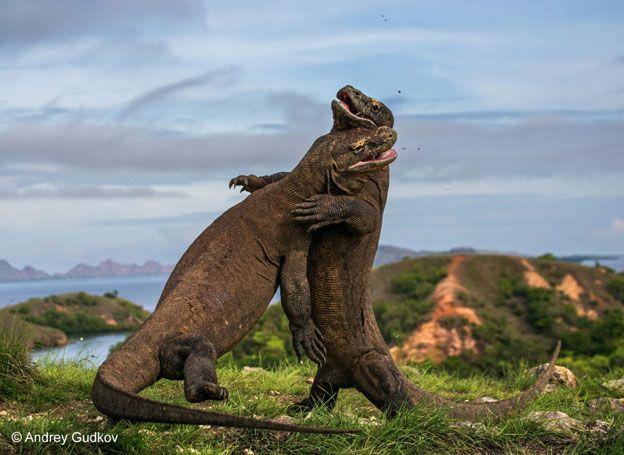 Parece una danza, pero es una pelea entre dos dragones de Komodo en el Parque Nacional Komodo en la isla Rinca, en Indonesia. La escena fue captada por Andrey Gudkov. Estas lagartijas pueden llegar a medir hasta 2,5 metros de largo. Las peleas por las hembras durante la temporada de apareamiento son bastante frecuentes.