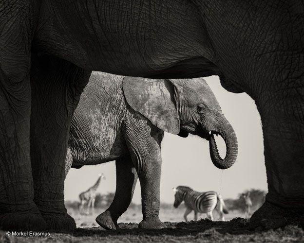 Esta foto fue tomada por el sudafricano Morkel Erasmus en el Parque Nacional Etosha, en Namibia. La imagen es en blanco y negro para darle énfasis a la composición.