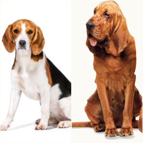 Virgo - beagle y san huberto