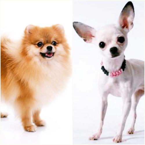 Cancer - pomerina y chihuahua
